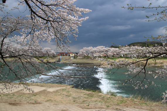 14 一目千本桜.jpg