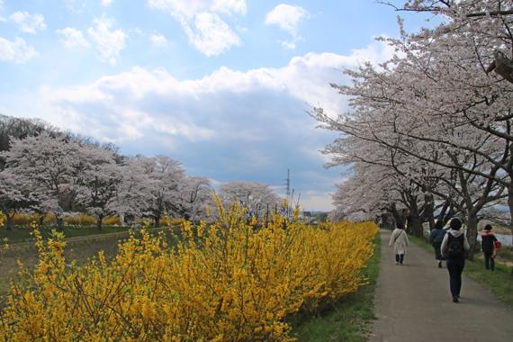 17 一目千本桜.jpg