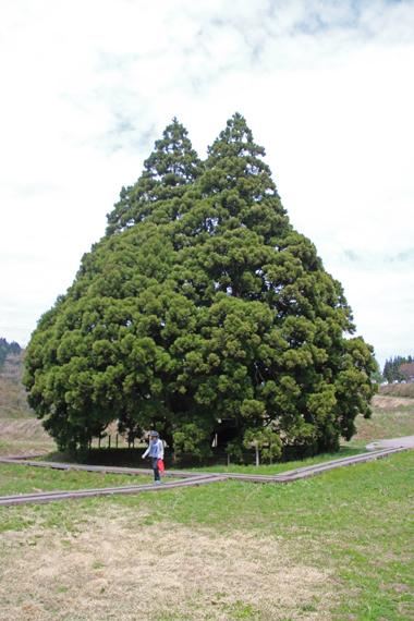 19 小杉の大杉.jpg
