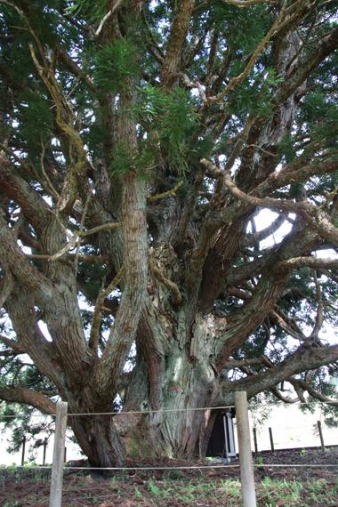 20 小杉の大杉.jpg