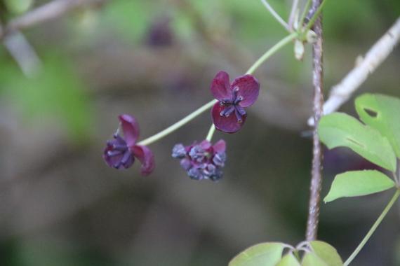 2 アケビの花.jpg