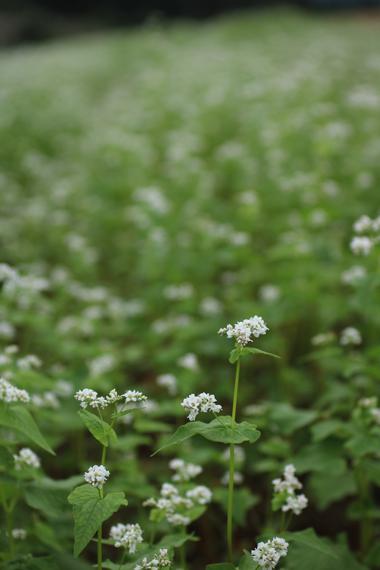 16 そばの花.jpg