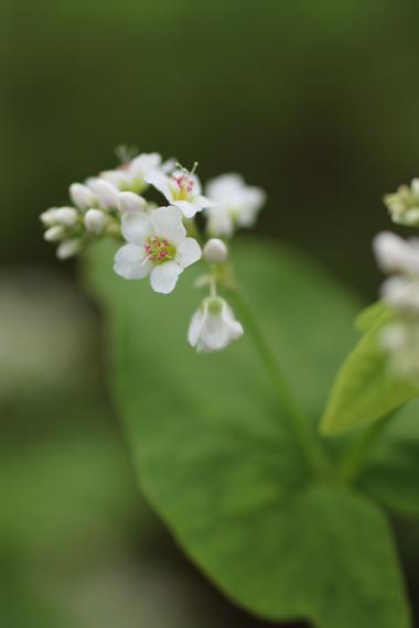 17 そばの花.jpg